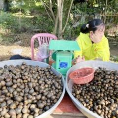 Ốc đồng Campuchia vào nhà hàng Việt giá 180.000 đồng/kg mà không đủ bán