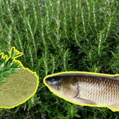 Bột lá hương thảo - Cải thiện tăng trưởng, giảm stress cho cá chép