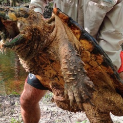 Bắt được rùa cá sấu nặng hàng chục kg tại Mỹ