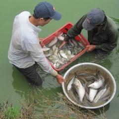 An Giang: Mở rộng diện tích nuôi cá thát lát cườm