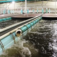 Nắm vững biến số để quản lí chất lượng nước trong hệ thống RAS