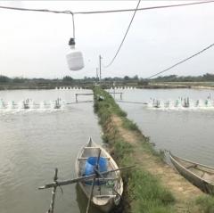 Bình Định: Dịch bệnh lại tấn công tôm nuôi