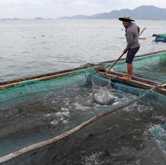 Cá bớp chết hàng loạt ở biển Ninh Hải