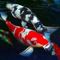 Kỹ thuật nuôi cá koi đạt hiệu quả cao