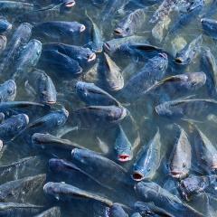 Cá rô phi: Nên bổ sung probiotic lên thức ăn chìm hay nổi?