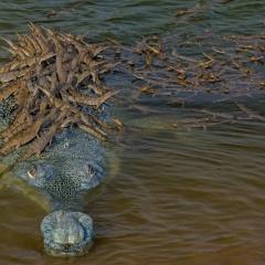 Cá sấu con bám chi chít trên lưng bố
