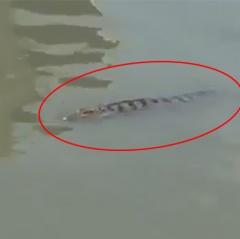 Quận 12 cảnh báo có cá sấu trên sông Sài Gòn