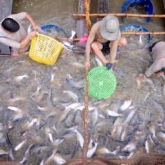 Hiệu quả của chất chiết cây hoàn ngọc đến hệ miễn dịch cá tra