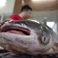 Đừng yêu cá di sản bằng vị giác!