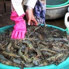 Giá tăng trở lại, nghề nuôi tôm ở ĐBSCL bắt đầu khởi sắc