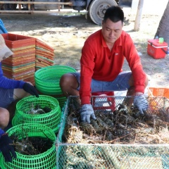 Người nuôi tôm hùm ở Phú Yên vui mừng khi giá tăng trở lại