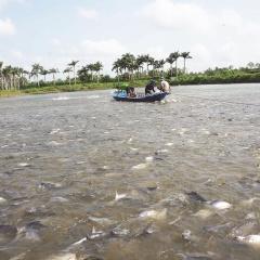 Xuất khẩu cá tra có dấu hiệu tích cực trở lại ở một số thị trường