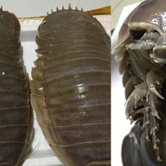 Xếp hàng thưởng thức món bọ biển xấu xí, đắt hơn cả tôm hùm