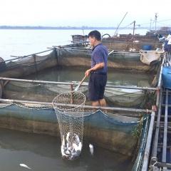 Hồ thuỷ điện Hoà Bình xả lũ, trên 20 tấn cá lồng các loại bị chết