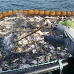 Làm chủ công nghệ nuôi cá chim vây vàng của Na Uy