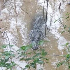 Cá sấu 70 kg sổng chuồng ở Đồng Tháp