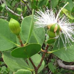 Ức chế sự phát triển của V. harveyi và Saprolegnia sp. nhờ chiết xuất lá bần