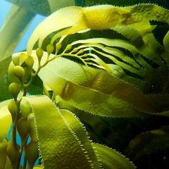 Lựa chọn chất nền biofloc: Rong biển hay bột bắp?