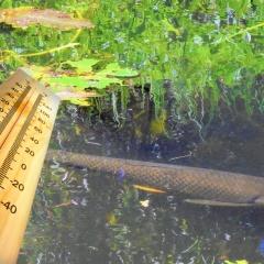 Bệnh lở loét trên cá trắm cỏ có thể phát triển do thay đổi nhiệt độ