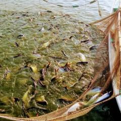 Quản lý chất lượng nước trong ao nuôi cá tra