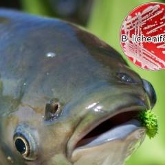 Vi khuẩn nội sinh Bacillus licheniformis giúp tăng cường miễn dịch trên cá trắm cỏ