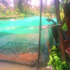 Thu nhập cao từ nuôi cá lóc trong vèo chỉ với 30m2 mặt nước