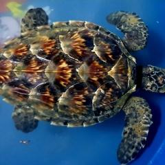 Thả cá thể rùa biển về môi trường tự nhiên