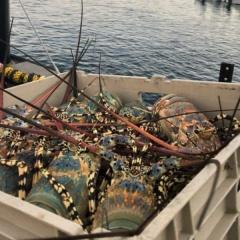 Hàng tấn tôm hùm Australia mắc kẹt tại sân bay Trung Quốc