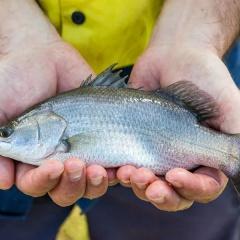 Liều lượng dùng rong nâu để kích thích miễn dịch cá chẽm