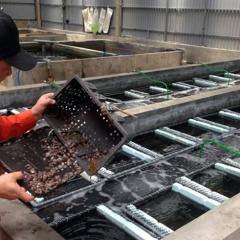 Kỹ thuật nuôi bào ngư