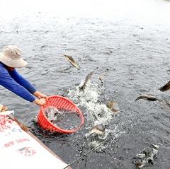 Người nuôi cá nước ngọt lo thị trường cuối năm