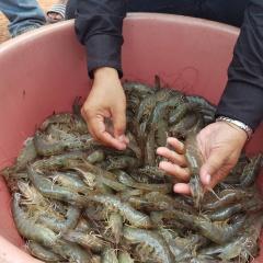 """Thái Lan khẳng định sản phẩm tôm hoàn toàn """"sạch"""" COVID-19"""