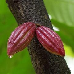 Chống stress sốc nhiệt cho tôm bằng pectin từ vỏ quả cacao