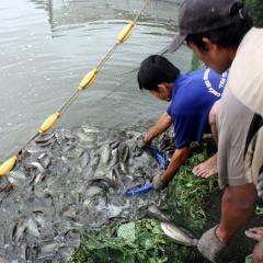 1,6 tấn cá sặc bổi chết do sét đánh