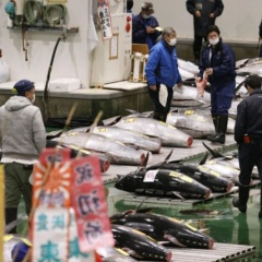 """Phiên đấu giá cá ngừ vây xanh năm nay """"rớt thảm"""""""