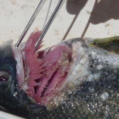Cúc mui chống lại sán lá đơn chủ trên cá