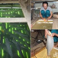 Đặc sản cá lồng ở Anh Sơn sẵn sàng cho kỳ thu hoạch lớn nhất năm