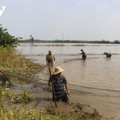 Mất mùa được giá, người dân nuôi cá ruộng vẫn thu nhập cao