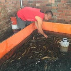 Với diện tích 15m2 bể nuôi thu hoạch một tấn lươn thịt