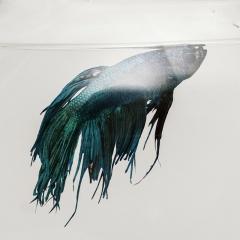 Cá cảnh túm vây, túm đuôi, lắc đuôi và … chết