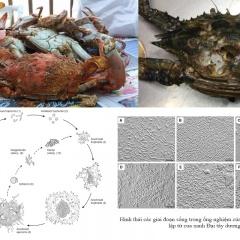 Ký sinh trùng Hematodinium trên các loài giáp xác