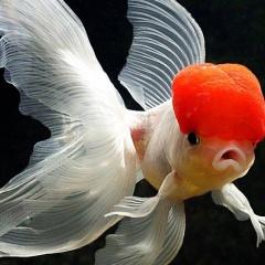 Thu nhập hàng trăm triệu đồng từ nuôi cá cảnh