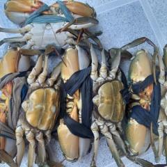Trà Vinh thả nuôi hơn 37 triệu con cua biển