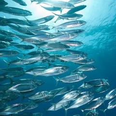 Cá biển giúp loại bỏ 1,65 tỷ tấn carbon khỏi khí quyển mỗi năm