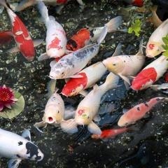 Hiệu quả kinh tế từ mô hình nuôi cá Koi giống