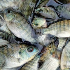 Tỷ phú nuôi cá rô phi