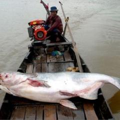 Các quần thể cá nước ngọt toàn cầu có nguyên cơ tuyệt chủng