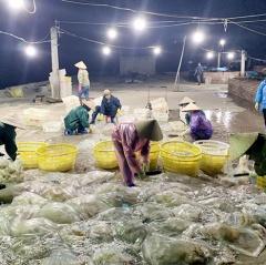 Vân Đồn mùa khai thác sứa
