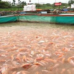 Có đến 5-20% người nuôi cá điêu hồng ngưng dùng thảo dược