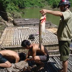 Phát triển bền vững nghề nuôi cá lồng